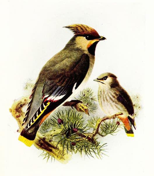 Birds of Britain - Waxwing (1907)