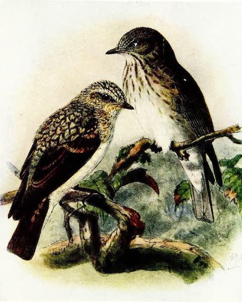 Birds of Britain - Spotted Flycatcher (1907)