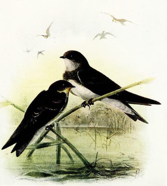 Birds of Britain - Sand-Martin (1907)