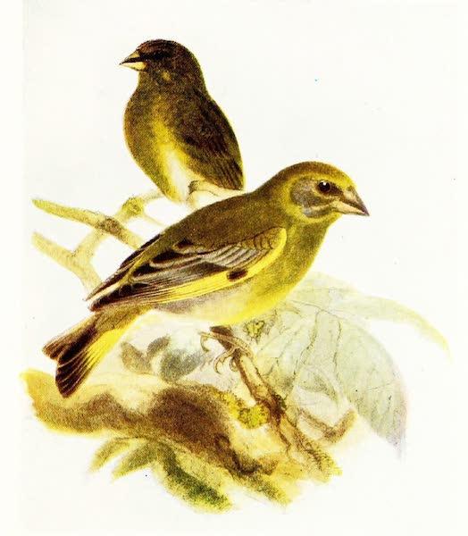 Birds of Britain - Greenfinch (1907)