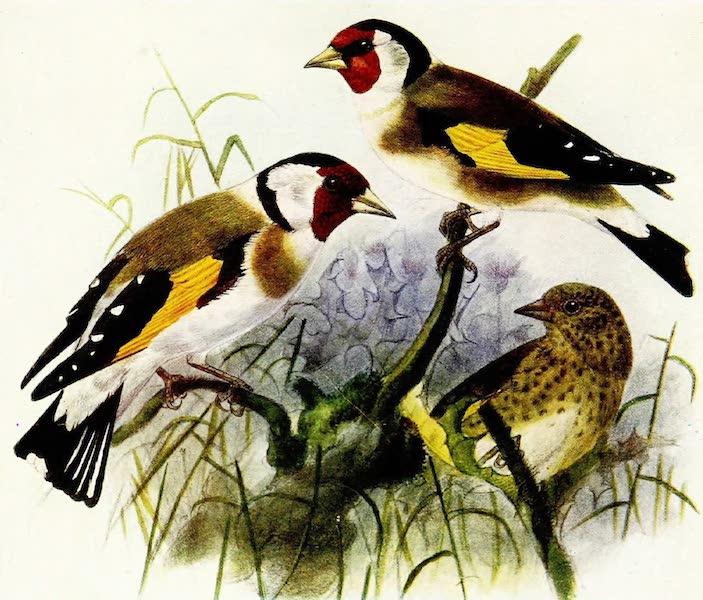 Birds of Britain - Goldfinch (1907)