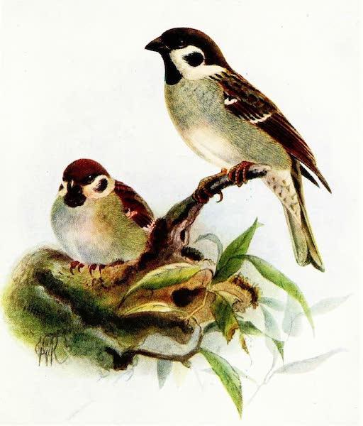 Birds of Britain - Tree-Sparrow (1907)