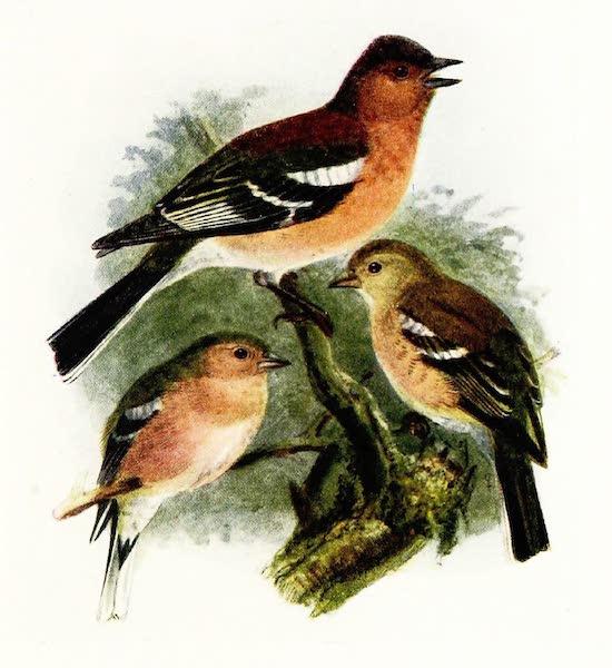 Birds of Britain - Chaffinch (1907)