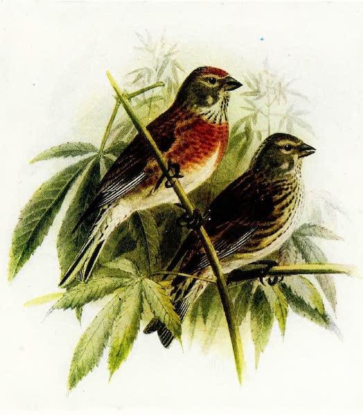 Birds of Britain - Linnet (1907)