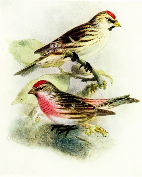 Birds of Britain - Mealy Redpoll (1907)