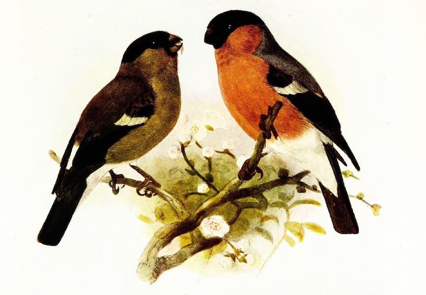 Birds of Britain - Bullfinch (1907)