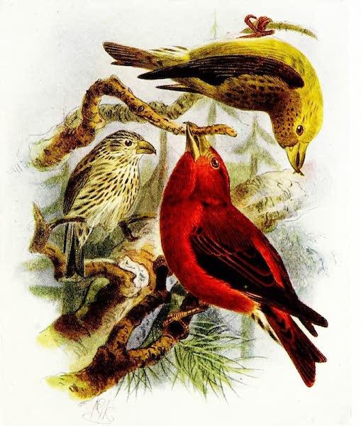 Birds of Britain - Crossbill (1907)