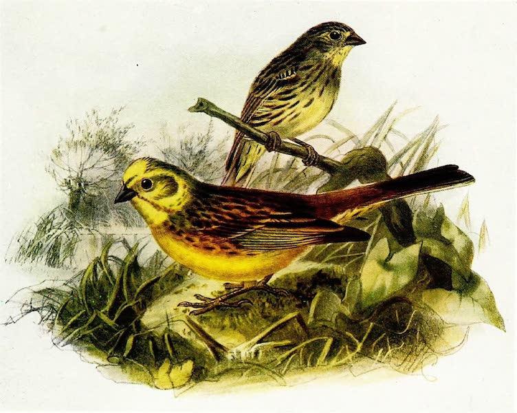 Birds of Britain - Yellow Bunting (Yellow Hammer) (1907)