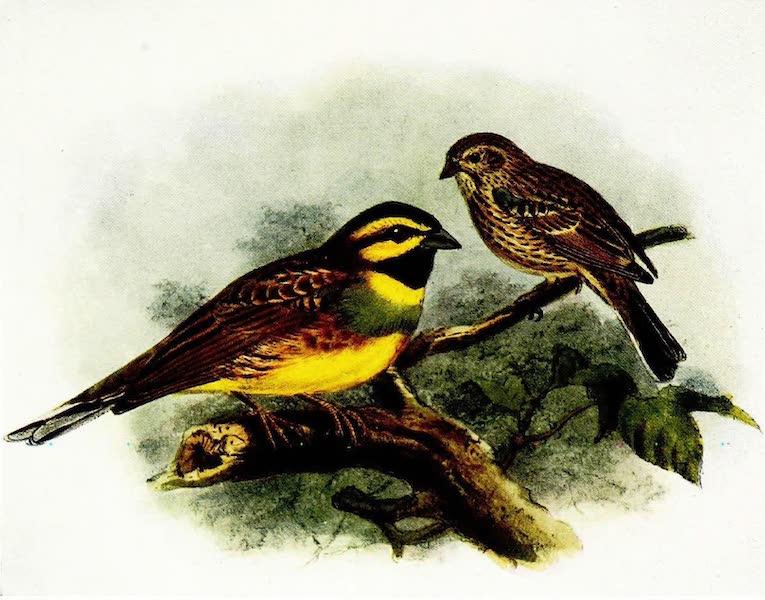 Birds of Britain - Cirl Bunting (1907)