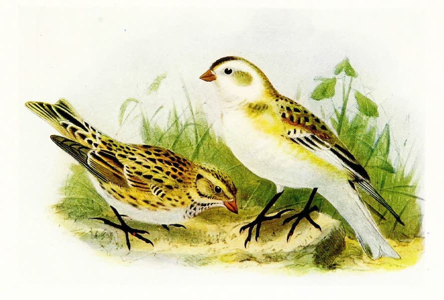 Birds of Britain - Snow Bunting and Lapland Bunting (1907)