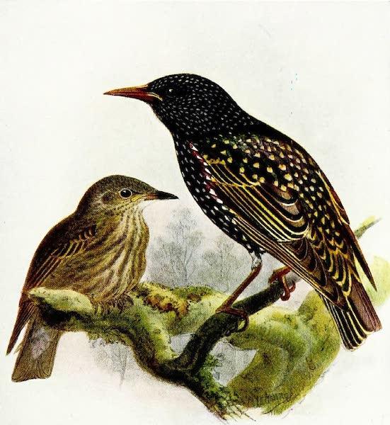 Birds of Britain - Starling (1907)