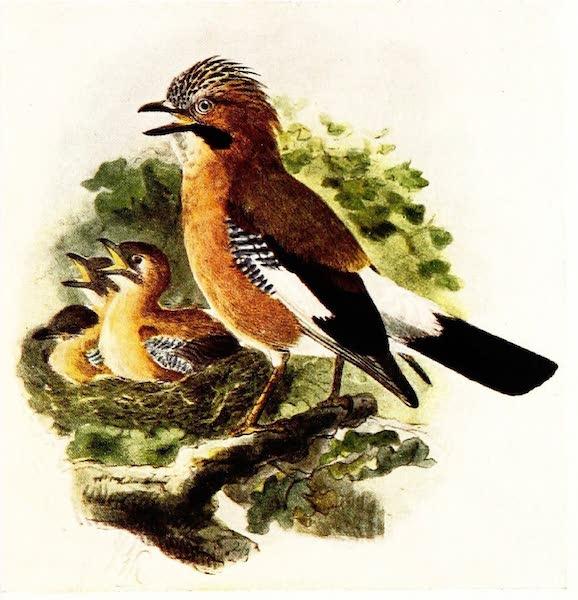 Birds of Britain - Jay (1907)