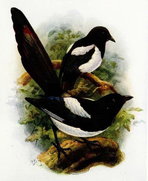 Birds of Britain - Magpie (1907)