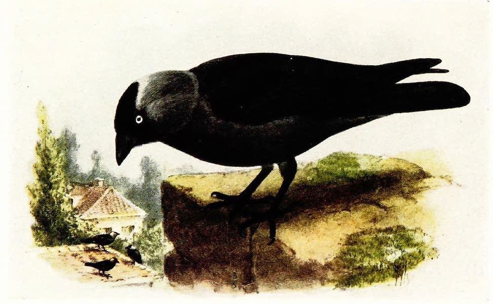 Birds of Britain - Jackdaw (1907)