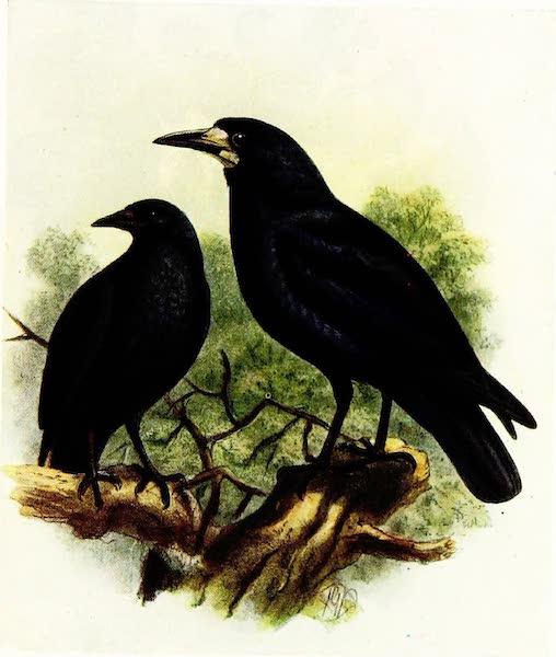 Birds of Britain - Rook (1907)