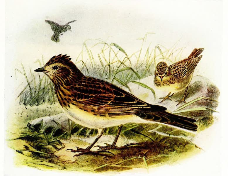 Birds of Britain - Skylark (1907)