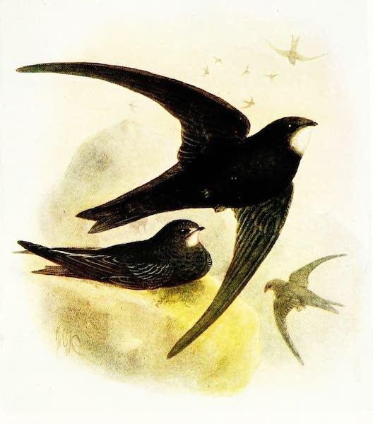 Birds of Britain - Common Swift (1907)