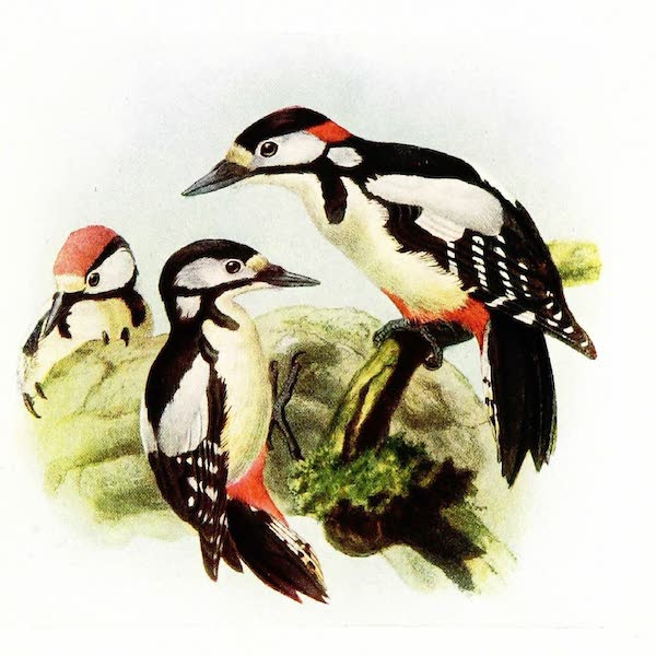 Birds of Britain - Greater Spotted Woodpecker (1907)