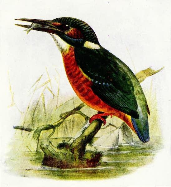 Birds of Britain - Kingfisher (1907)