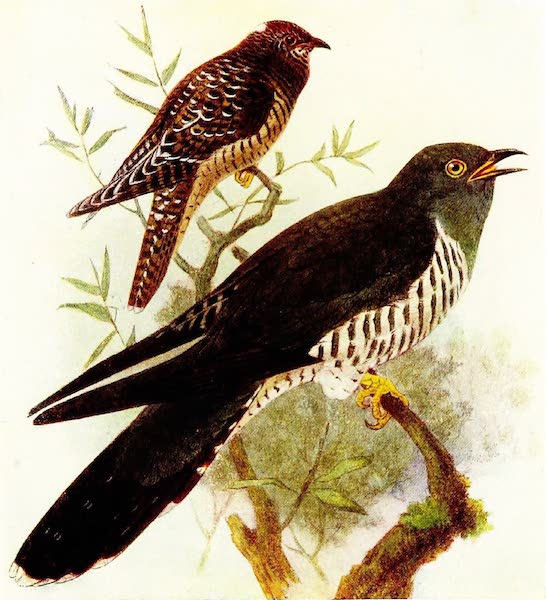 Birds of Britain - Cuckoo (1907)