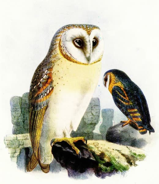 Birds of Britain - Barn Owl (1907)