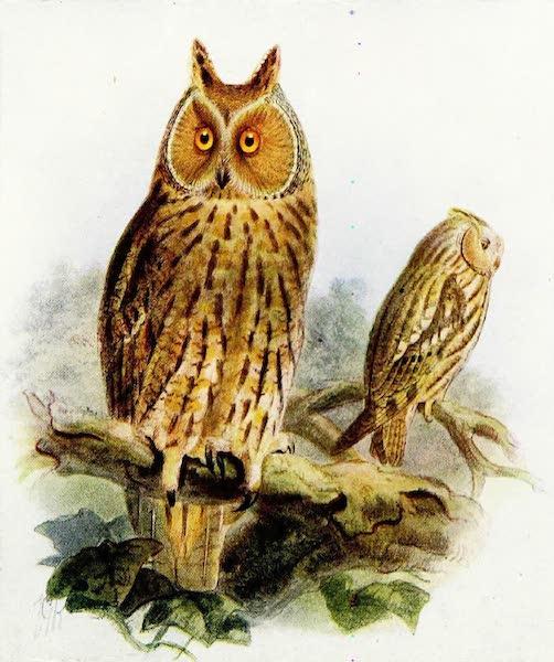 Birds of Britain - Long-eared Owl (1907)