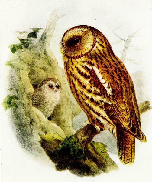 Birds of Britain - Tawny Owl (1907)