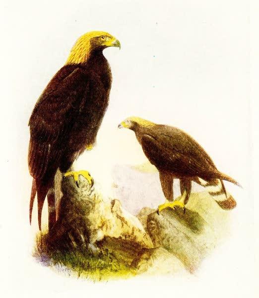 Birds of Britain - Golden Eagle (1907)