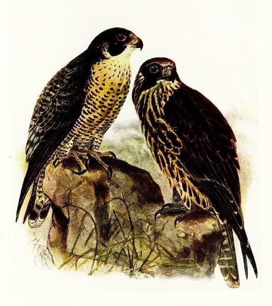Birds of Britain - Peregrine (1907)