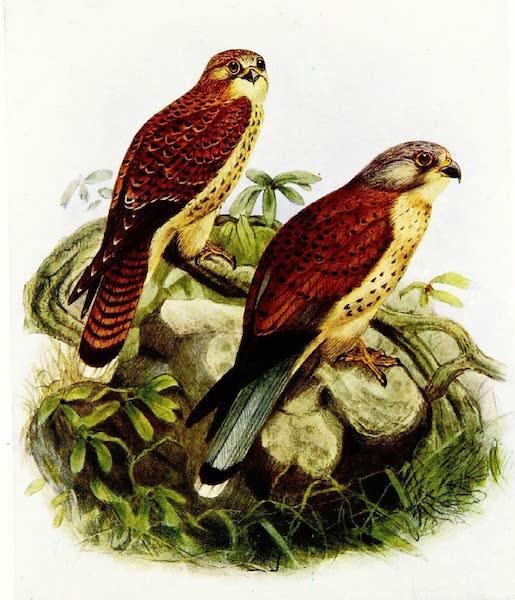 Birds of Britain - Kestrel (1907)