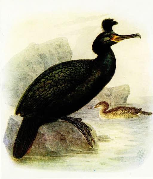 Birds of Britain - Shag (1907)