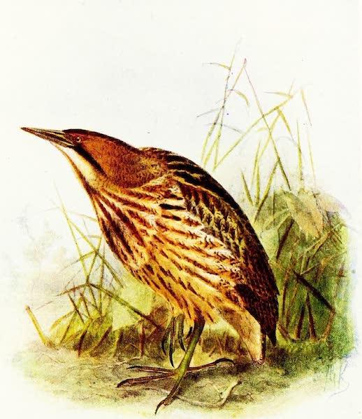 Birds of Britain - Bittern (1907)