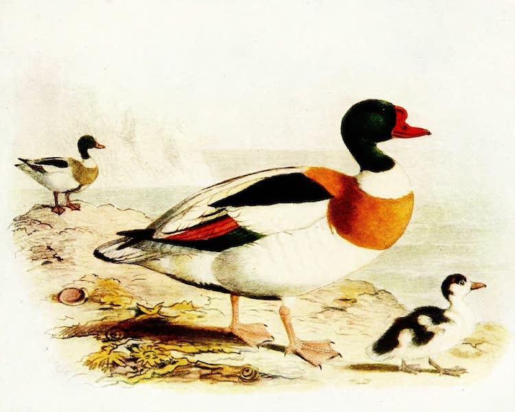 Birds of Britain - Shield-Duck (1907)
