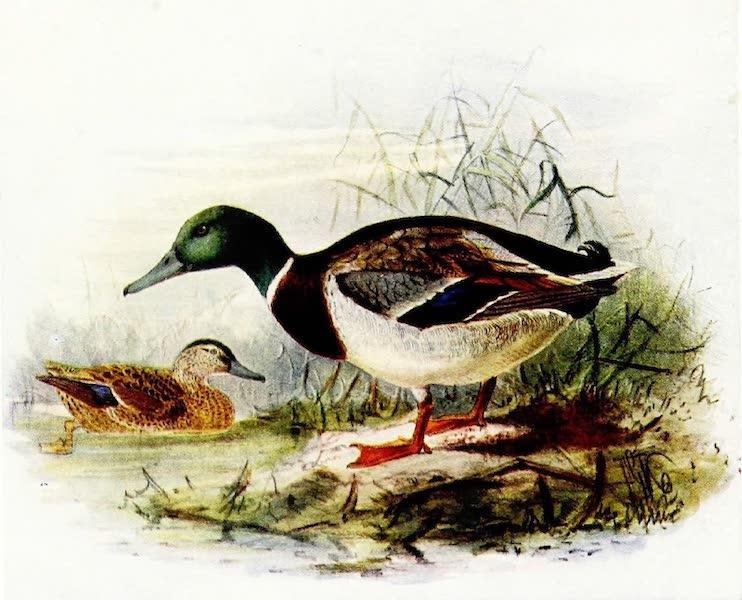 Birds of Britain - Mallard or Wild Duck (1907)