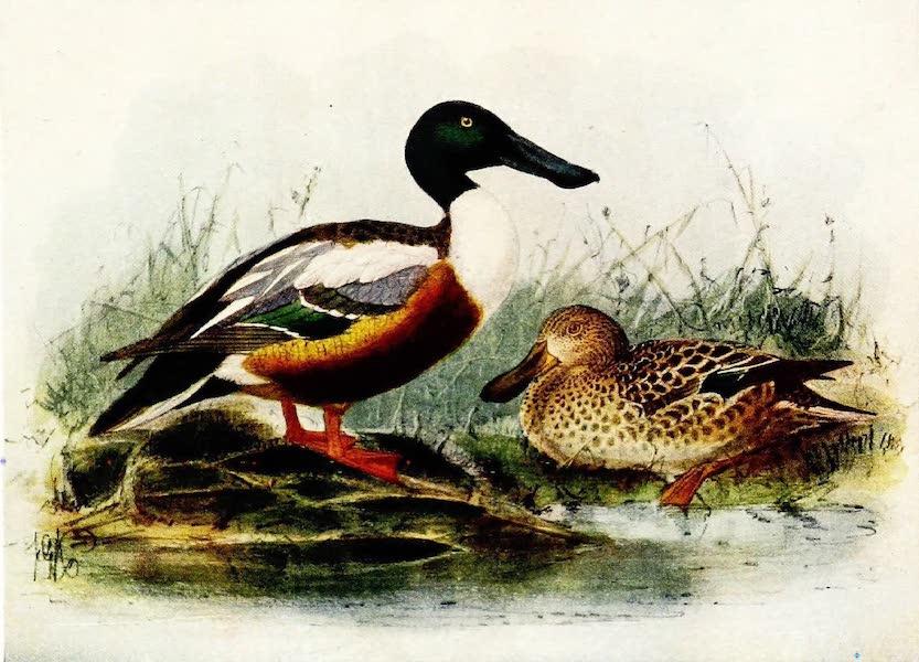 Birds of Britain - Shoveller (1907)