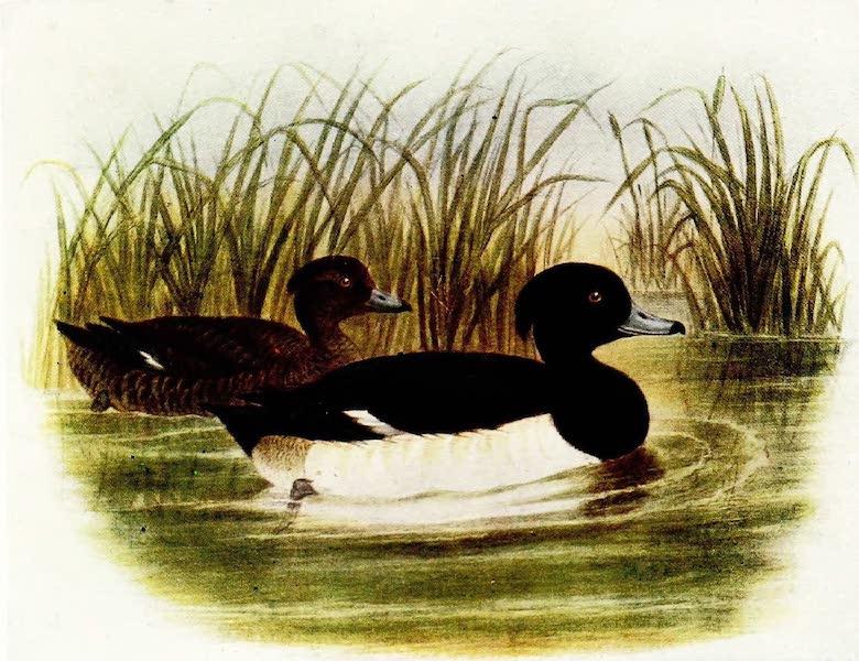 Birds of Britain - Tufted Duck (1907)