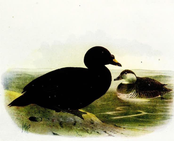 Birds of Britain - Common Scoter (1907)