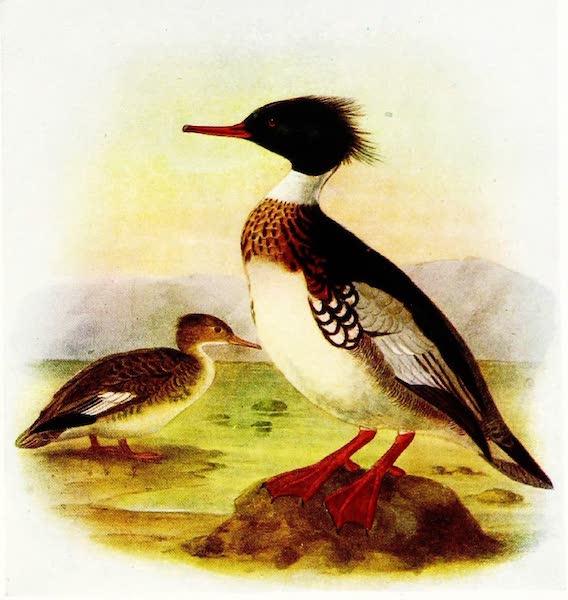 Birds of Britain - Red-breasted Merganser (1907)
