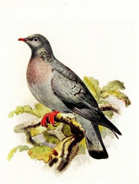 Birds of Britain - Stock Dove (1907)