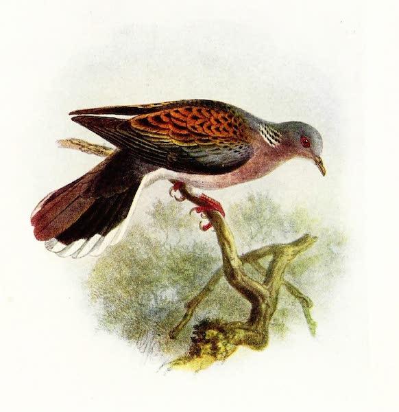 Birds of Britain - Turtle Dove (1907)