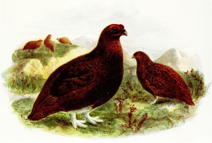 Birds of Britain - Red Grouse (1907)