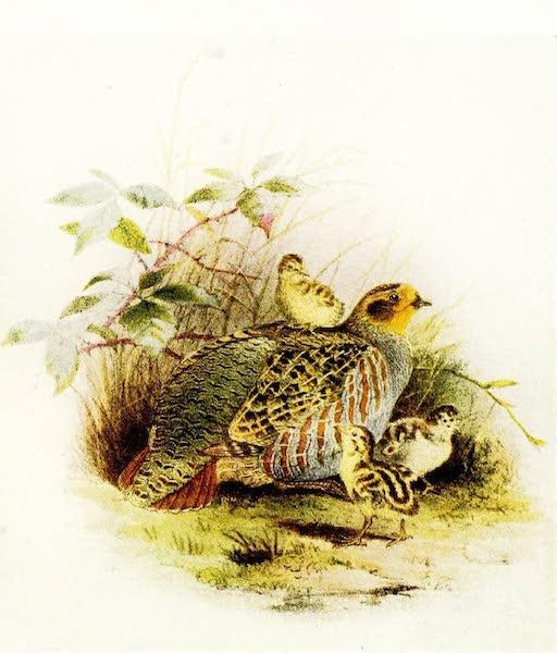 Birds of Britain - Partridge (1907)