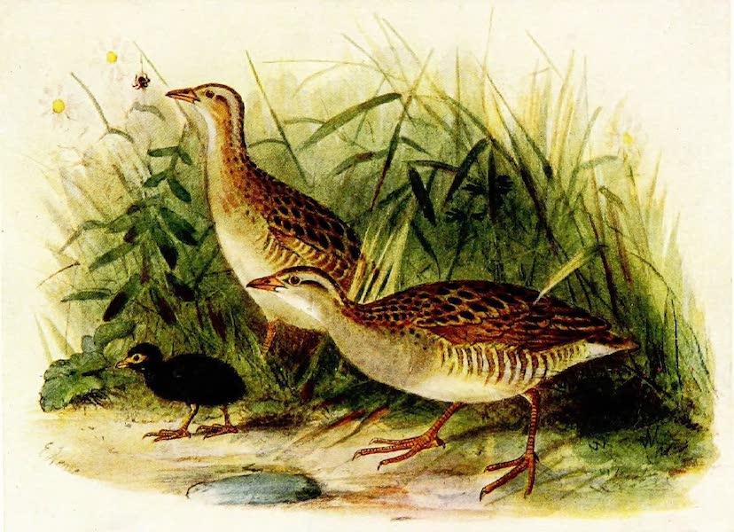 Birds of Britain - Land-Rail (1907)