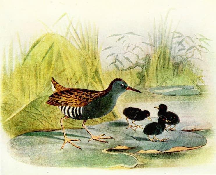 Birds of Britain - Water-Rail (1907)