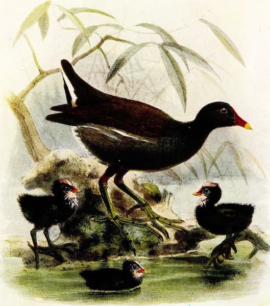 Birds of Britain - Moor-hen (1907)