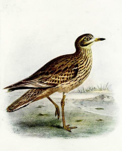 Birds of Britain - Stone Curlew (1907)