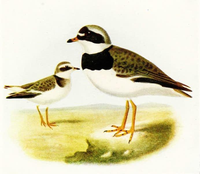 Birds of Britain - Ringed Plover (1907)