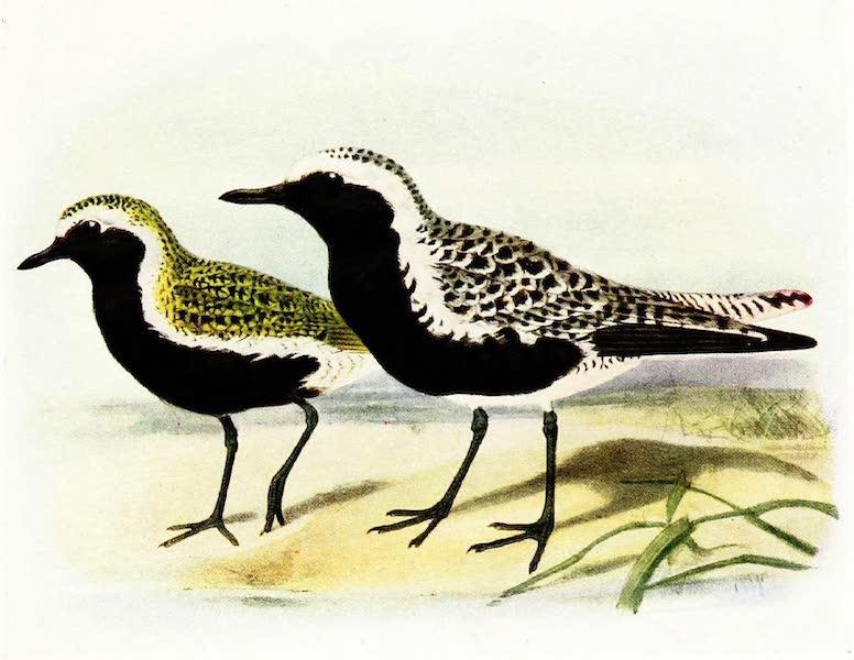 Birds of Britain - Golden Plover and Grey Plover (1907)