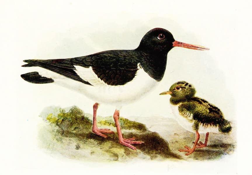 Birds of Britain - Oyster-Catcher (1907)