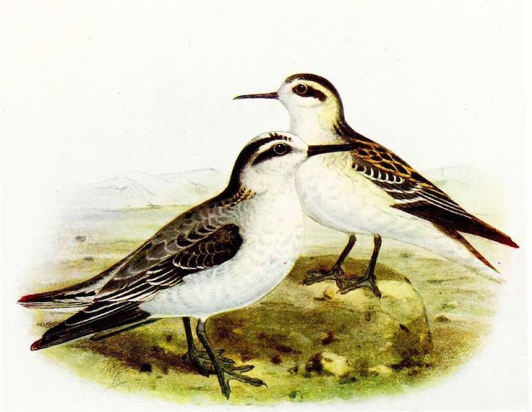 Birds of Britain - Grey Phalarope and Red-necked Phalarope (1907)